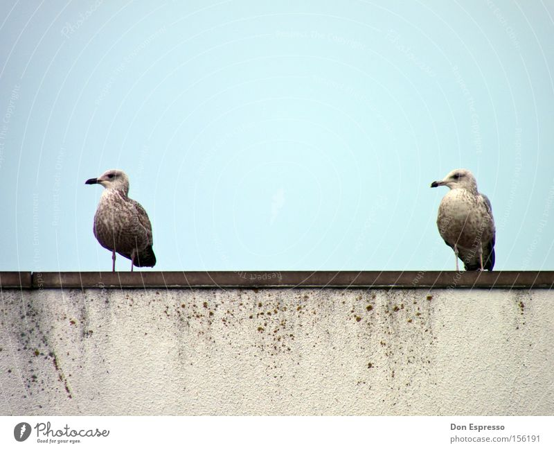 friends Seagull Silvery gull Bird Blue Sky Ocean Coast 2 Together Synchronous Equal Pair of animals Beak Trust In pairs