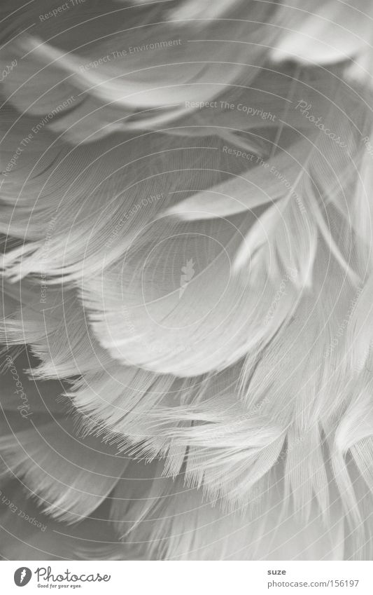 velvet soft Decoration Wing Angel Soft White Feather Easy Delicate Smooth Downy feather Close-up Background picture Detail Ease Craft materials Velvety