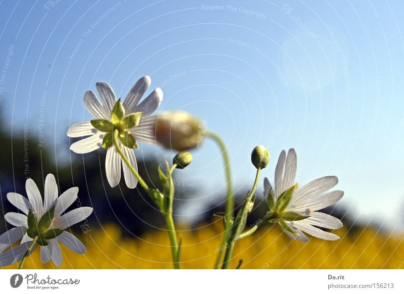Beautiful White Flower Summer Yellow Blossom Spring Bright Growth Transience Blossoming Beautiful weather Ease Blue sky Canola