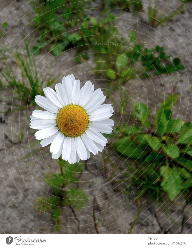 Chamomilla Chamomile Field Medicinal plant Daisy Family Healthy Badlands Plant loamy soil flower basket Field Chamomile Weed