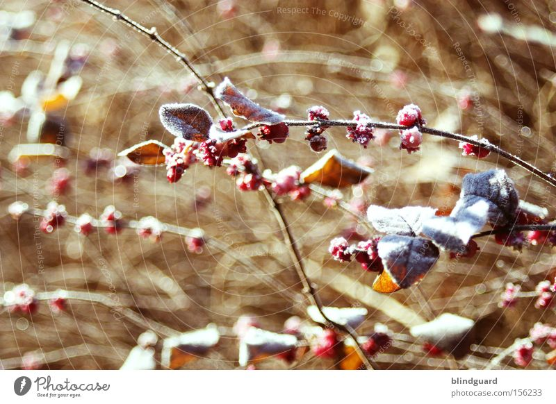 Nature Plant Red Winter Leaf Life Cold Snow Environment Frost Bushes Branch Freeze Berries Climate change Hoar frost