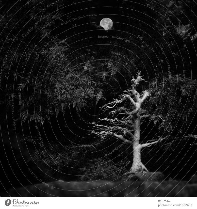 horrible cruel Moon Full  moon Tree Bushes coniferous wood Headstrong Bleak Bonsar Creepy Black Branch Black & white photo Exterior shot Deserted Evening Night