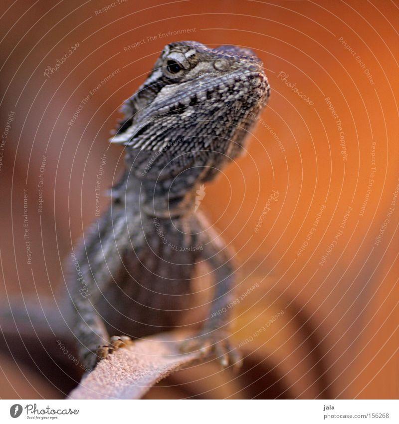 Animal Brown Orange Desert Exotic Pride Reptiles Saurians Dinosaur Terrarium Gecko Agamidae Barbed agame