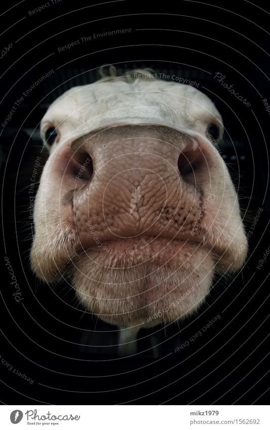 Portrait of a cow Dairy Products Exotic Healthy Farmer Agriculture Forestry Head Face Eyes Nose Mouth Zoo Nature Summer Deserted Animal Cow Pelt 1 Esthetic