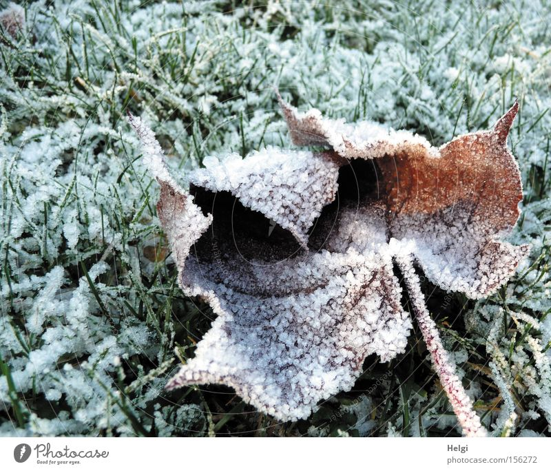 hoar-frosty Winter Cold Hoar frost Ice Ice crystal Grass Meadow Leaf Frost Limp Maple tree January December White Green Park Transience Helgi Snow