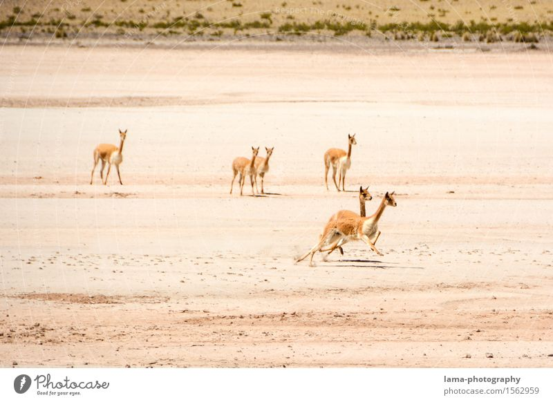Nature Mountain Playing Group of animals Running Catch Sporting event Canyon South America Peru Bolivia Andes Llama