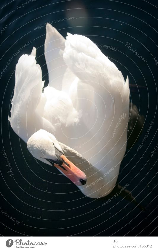 Water Beautiful White Winter Calm Animal Bird Elegant Feather Beak Swan Float in the water Lens flare