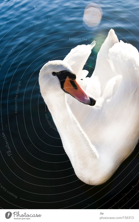 Water Beautiful White Calm Animal Bird Elegant Feather Beak Swan Float in the water Lens flare