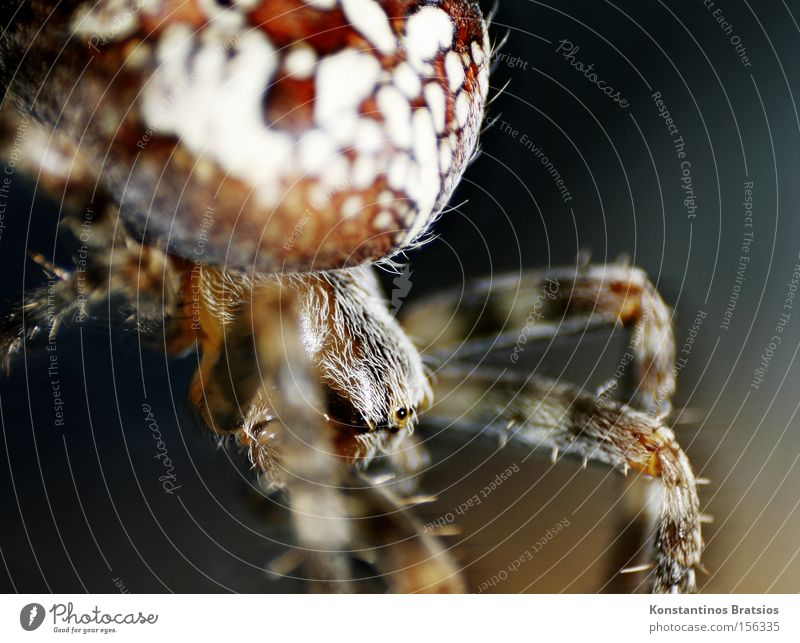 CROSS SPIDER ~Araneus diadematus Colour photo Exterior shot Close-up Macro (Extreme close-up) Deserted Night Artificial light Blur Animal portrait Spider 1