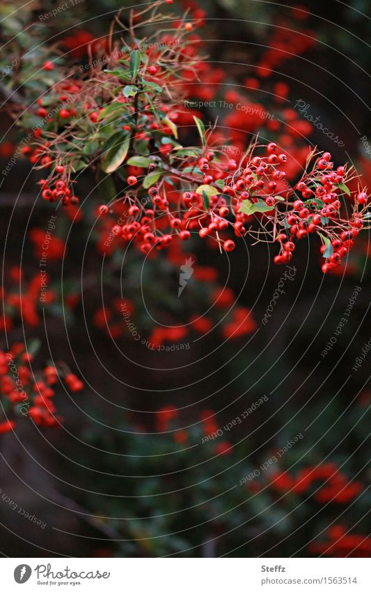 many red fruits Environment Nature Plant Autumn Agricultural crop Wild plant Sallow thorn Berries Berry bushes Fruit Rawanberry Twig Garden Park Natural