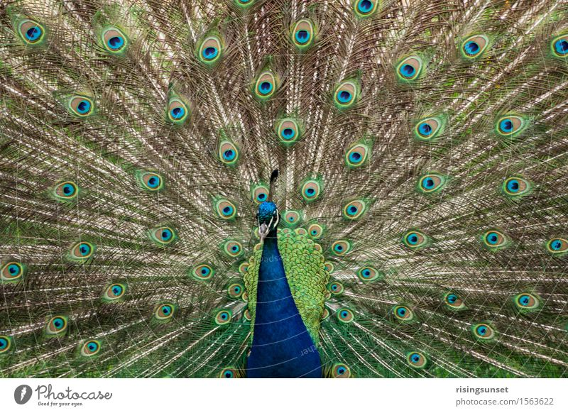 peacock Zoo Animal Wild animal Esthetic Exceptional Threat Elegant Large Blue Brown Green Turquoise Moody Bravery Attentive Dangerous Aggression Colour