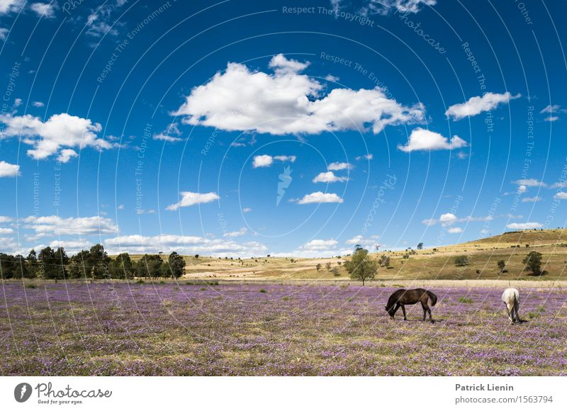 New Wales, Australien Beautiful Relaxation Vacation & Travel Summer Nature Landscape Animal Sky Clouds Weather Warmth Flower Grass Meadow Places Horse 2 Blue