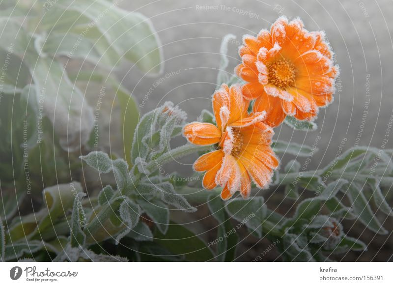 first November frost Flower Frost Autumn Orange 2 Lighting Marigold Garden Ice Fog Blossom Transience Plant Green Grief Hope Still Life Park Krafra