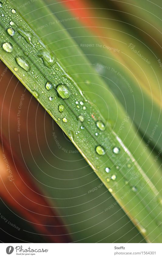 a little rain in the grass raindrops Grass blade of grass Wild plant Blade of grass Drop Rain Autumn rain rainy rainwater rain atmosphere Hydrophobic Dripping