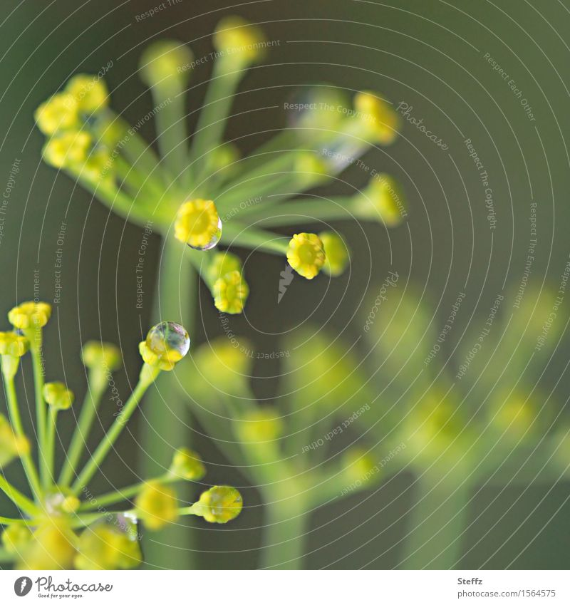 dill drops Food Herbs and spices Dill Dill blossom Environment Nature Drops of water Summer Rain Plant Agricultural crop Apiaceae Garden plants Wet Natural