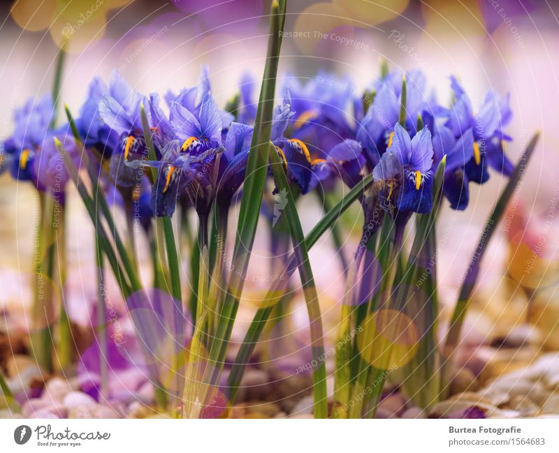 iris Plant Sunlight Flower Leaf Blossom Iridaceae Garden Multicoloured Yellow Green Violet 2016 March Spring springtime jump Colour photo Exterior shot Deserted