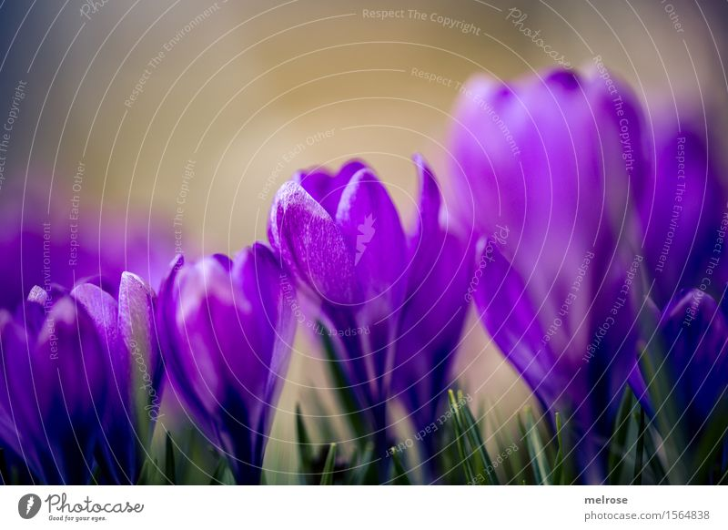 Tightly packed Elegant Style Birthday Nature Plant Earth Spring Beautiful weather Flower Grass Leaf Blossom Wild plant Crocus Bulb flowers