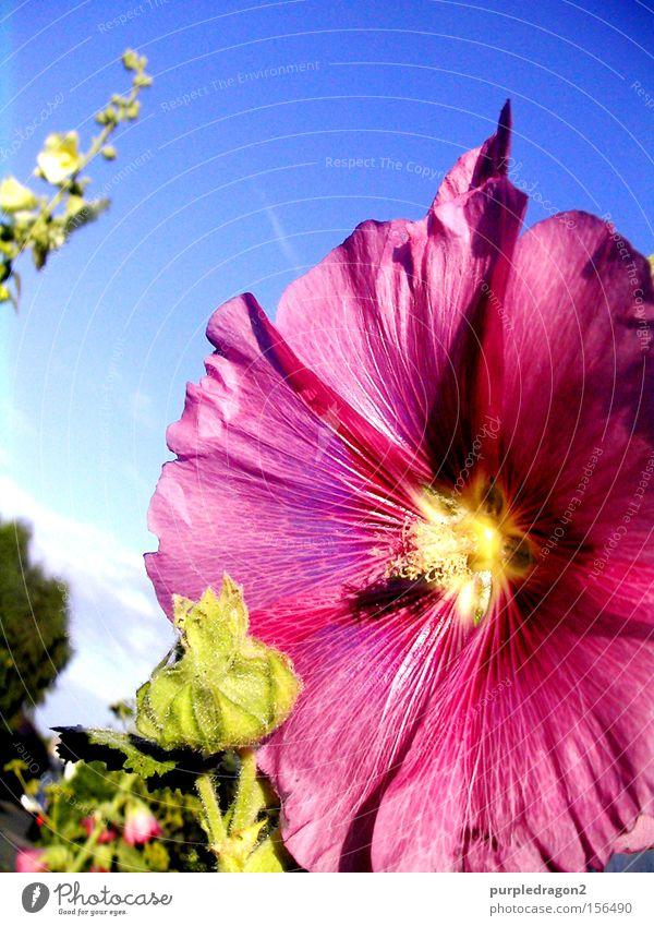 Sky Flower Green Blue Plant Summer Yellow Blossom Pink Bud Tendril Undo Deploy