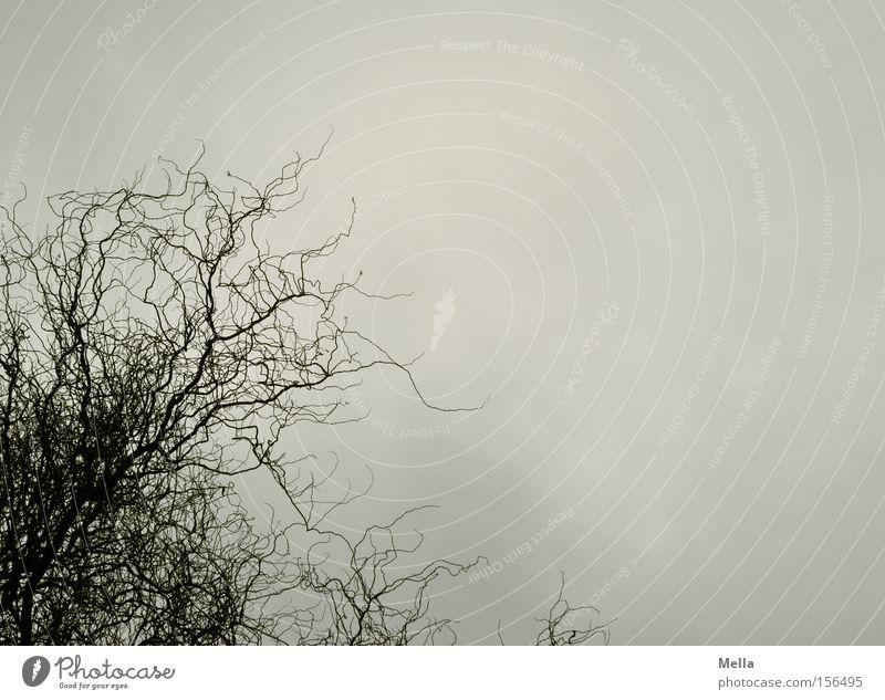 Sky Tree Clouds Gray Rain Gloomy Branch Twig Willow tree Dreary Branchage Willow corkscrew