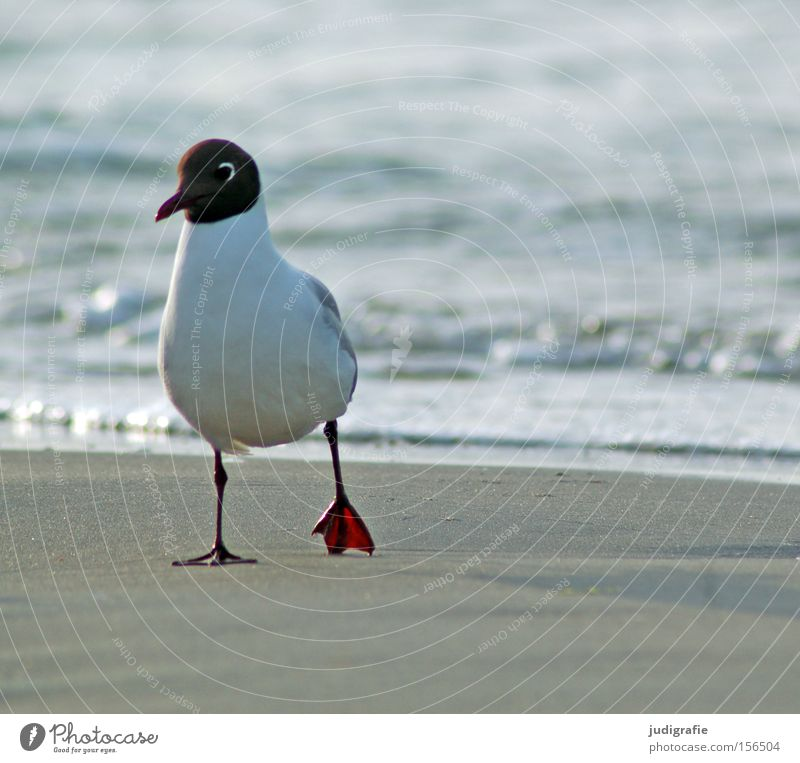 Nature Water Ocean Beach Colour Sand Bird Coast Environment To go for a walk Baltic Sea Seagull Animal Black-headed gull