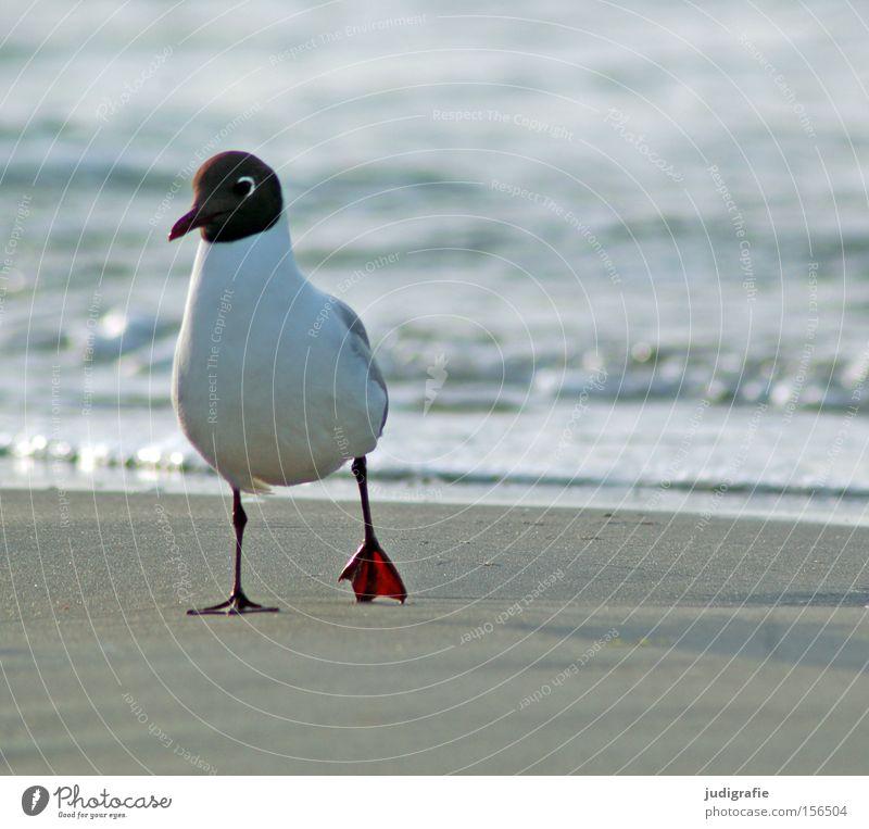 Nature Water Ocean Beach Colour Sand Bird Coast Environment To go for a walk Baltic Sea Seagull Animal Black-headed gull
