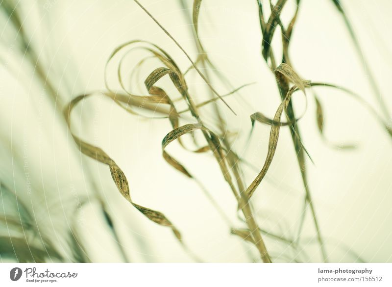 filigree Grass Blade of grass Leaf Common Reed Spiral Delicate Fine Macro (Extreme close-up) Nature Lakeside River bank Wind Close-up ruffle