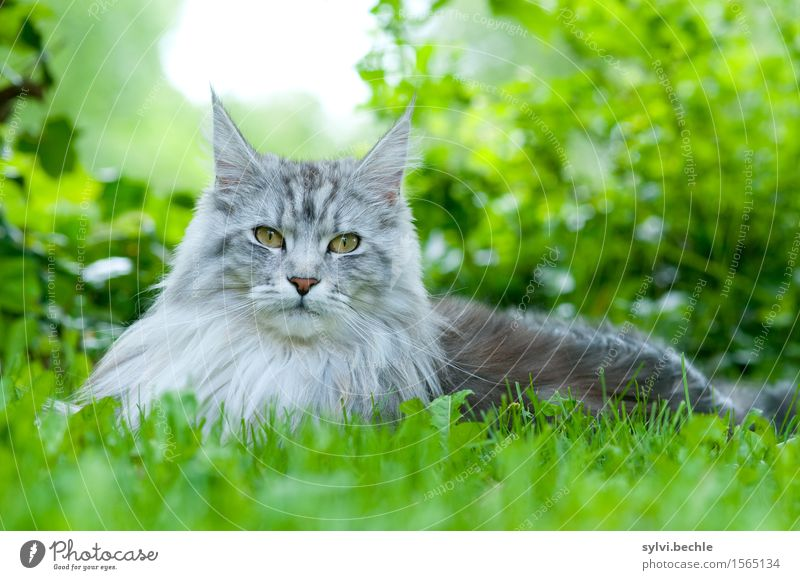 Maine Coon Environment Nature Plant Animal Grass Bushes Ivy Pet Cat 1 Observe Lie Beautiful Natural Curiosity Gray Green Silver Love of animals Attentive