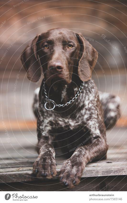 Dog Beautiful Animal Wood Brown Lie Leisure and hobbies Esthetic Observe Curiosity Trust Pelt Hut Watchfulness Brunette Hunting