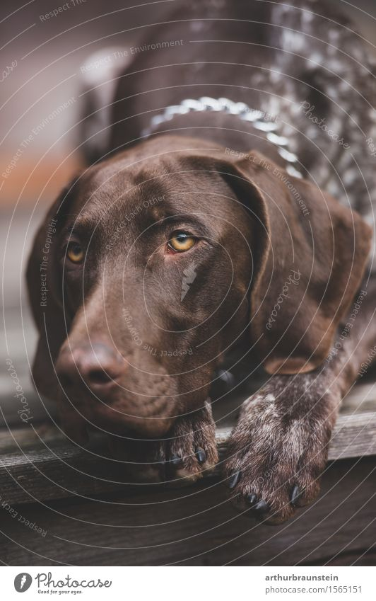 Hunting dog on wooden terrace Leisure and hobbies Trip House (Residential Structure) Hut Brunette Short-haired Animal Pet Dog Animal face Pelt Paw Hound 1