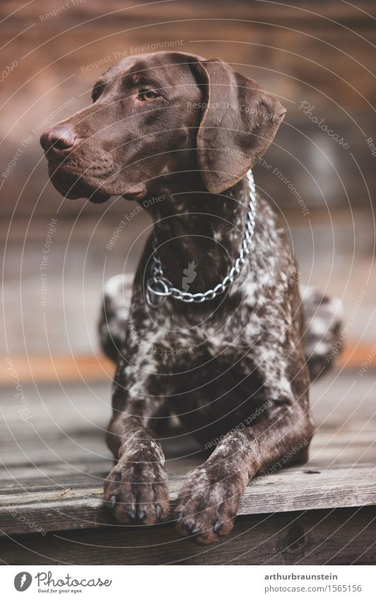 Dog Beautiful House (Residential Structure) Animal Wood Lie Sit Esthetic Perspective Observe Target Athletic Hunting Pet Chain Attentive