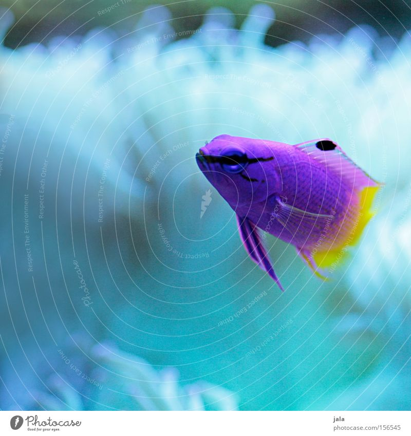 AQUARIUM EXPERIENCE #12 Caribbean Sea Violet Yellow Pink Two-tone Fish Ocean Aquarium Close-up Sea water Underwater photo Water royal fairy perch Gramma loreto