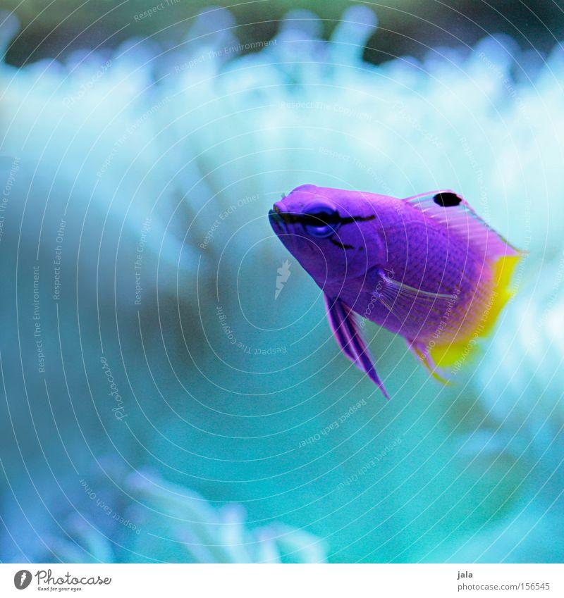 Water Ocean Yellow Underwater photo Pink Fish Violet Aquarium Caribbean Sea Sea water Two-tone