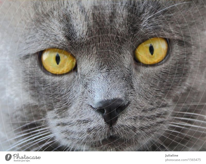 Cat portrait with yellow eyes Face Animal Moustache Pet Near Blue Yellow Gray Mammal whiskers sideburns close Colour photo