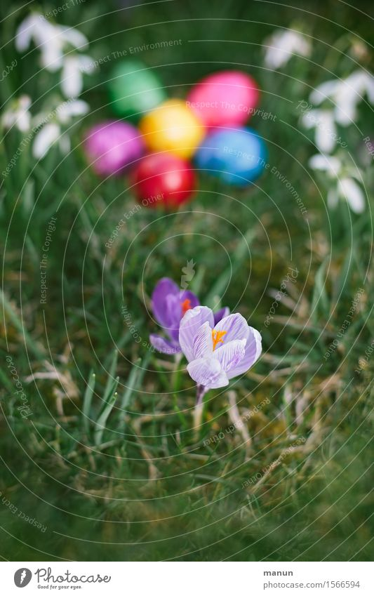 Crocus with eggs Food Egg Easter egg Nutrition Organic produce Feasts & Celebrations Spring Flower Spring flower Snowdrop Garden Meadow Natural Multicoloured