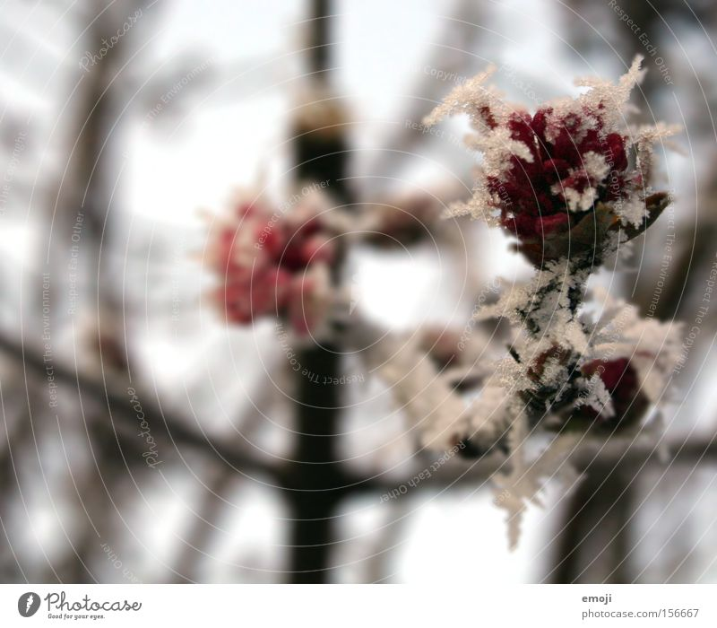 Nature Flower Blue Plant Winter Cold Snow Ice Rose Frost Branch