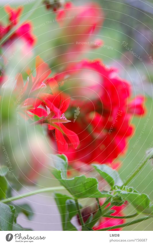 Summer balcony Geranium Flower Red Vacation & Travel Balcony Blur Vantage point Blossom balcony flowers