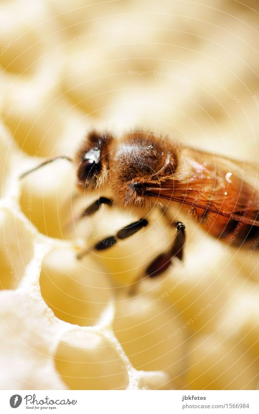 busy bee Food Candy Honey Nutrition Breakfast Environment Nature Beautiful weather Animal Pet Farm animal Bee Honey bee 1 Elegant Small Sustainability Natural