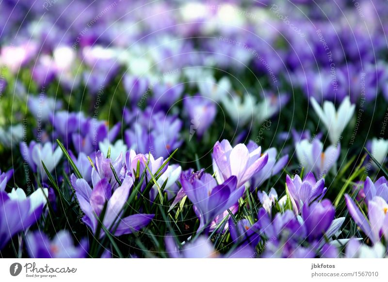 The heralds of spring Environment Nature Plant Spring Leaf Blossom Foliage plant Wild plant Crocus Garden Park Beautiful Kitsch Violet White Green Spring fever