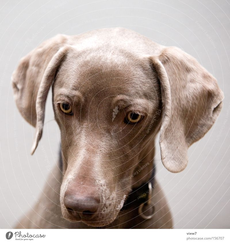 hypnosis Hypnotic Animal Dog Looking Concentrate Weimaraner Eyes Snout Appetite To feed Saliva Training vest Mammal Trust