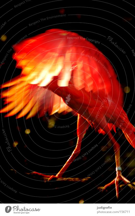 firebird Bird Red Fire Wing Feather Nature Excitement Magic Animal Light Colour fiery red