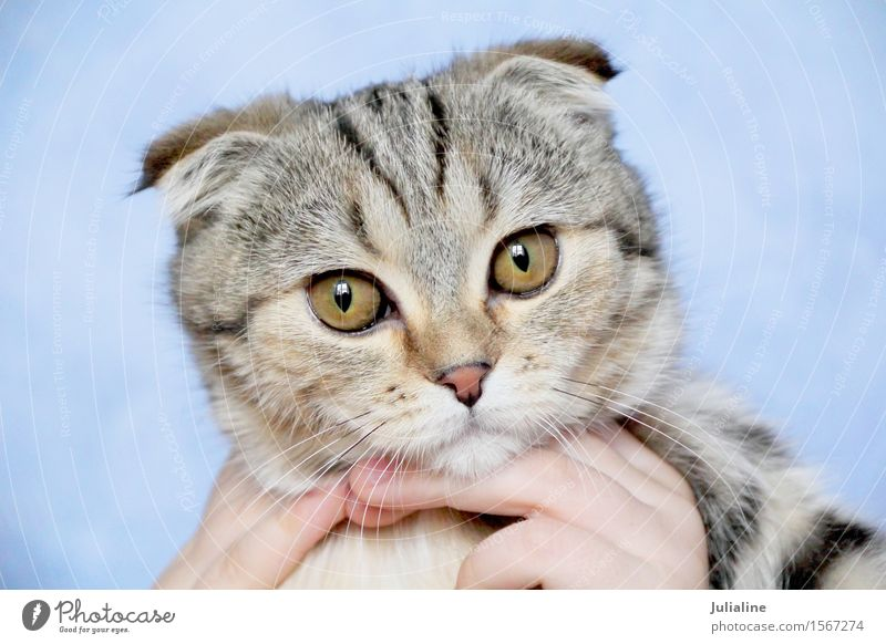Cat with yellow eyes Animal Moustache Pet Stripe Yellow Gray Mammal whiskers sideburns Colour photo
