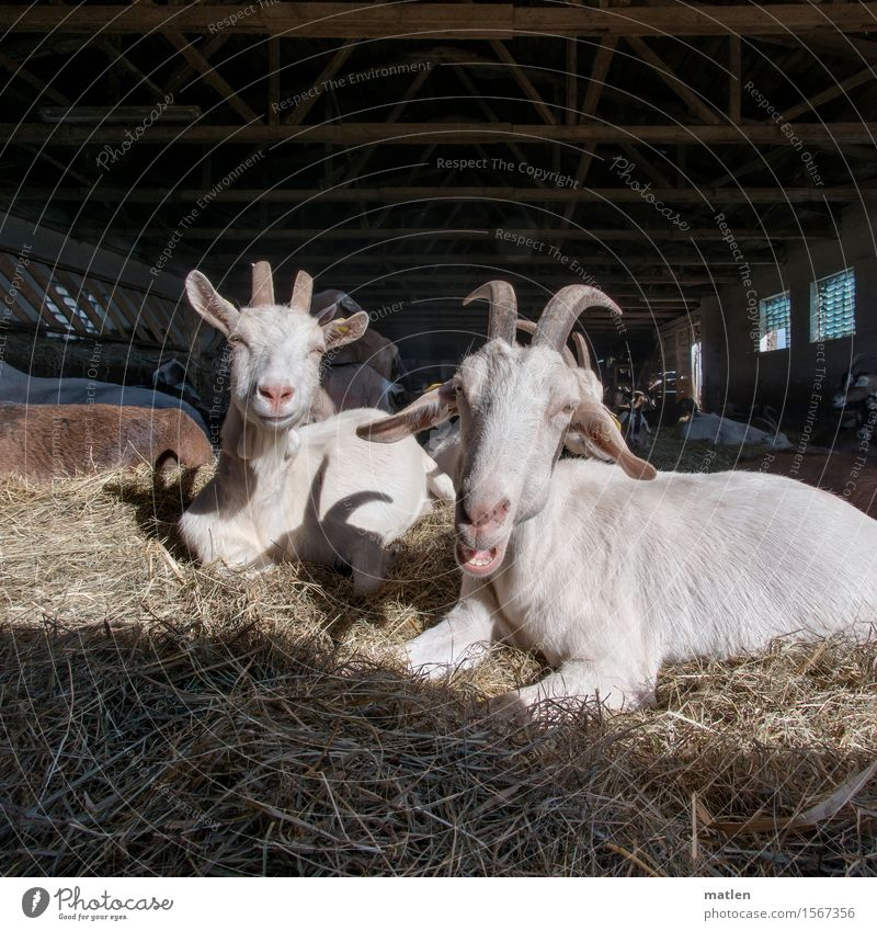 first spring sun Deserted Animal Pet Animal face Pelt Group of animals Herd Blue Brown White Goats Barn Straw Rest Grumble Antlers Heat Superior Colour photo