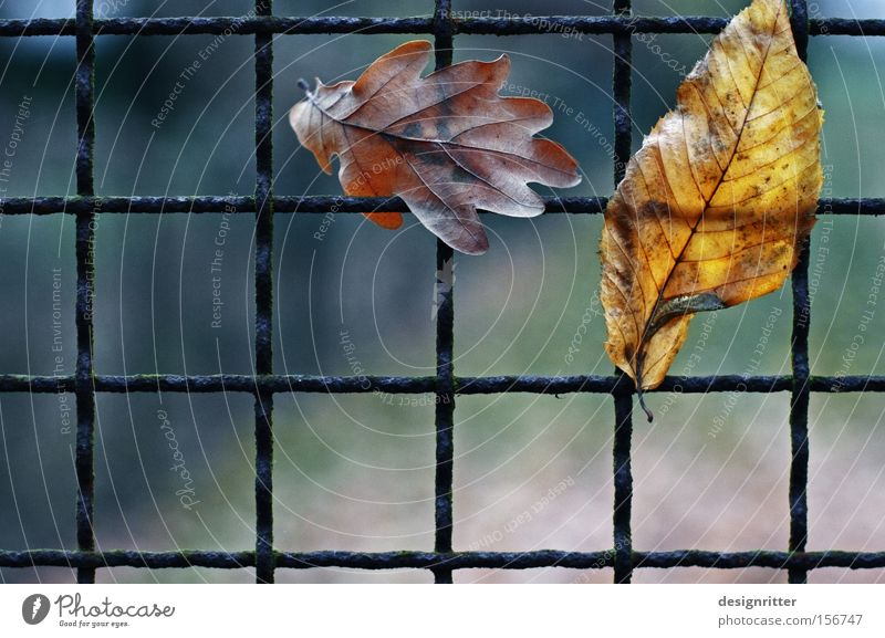 queue Autumn Leaf Fence Grating Captured Catch Get stuck Hang Closed Freedom Liberate Liberation entangled