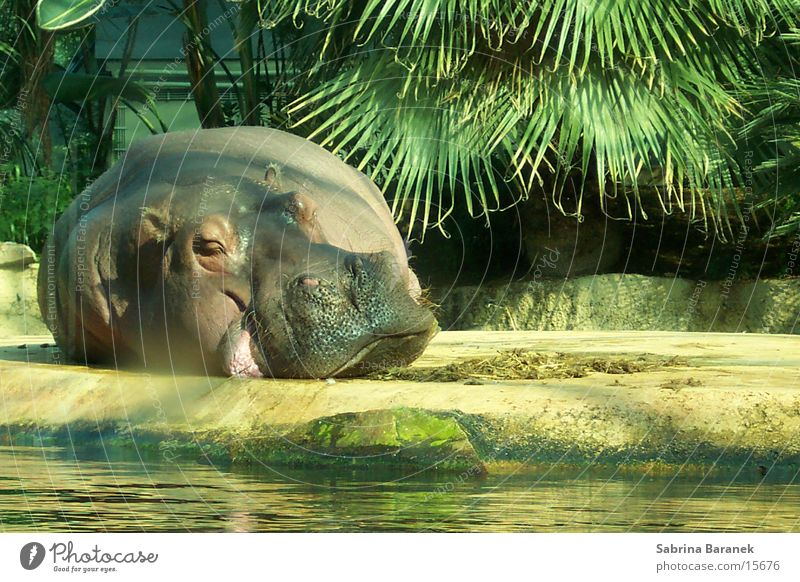 chillin' in the sun Animal Hippopotamus Zoo Sleep Sun Fat