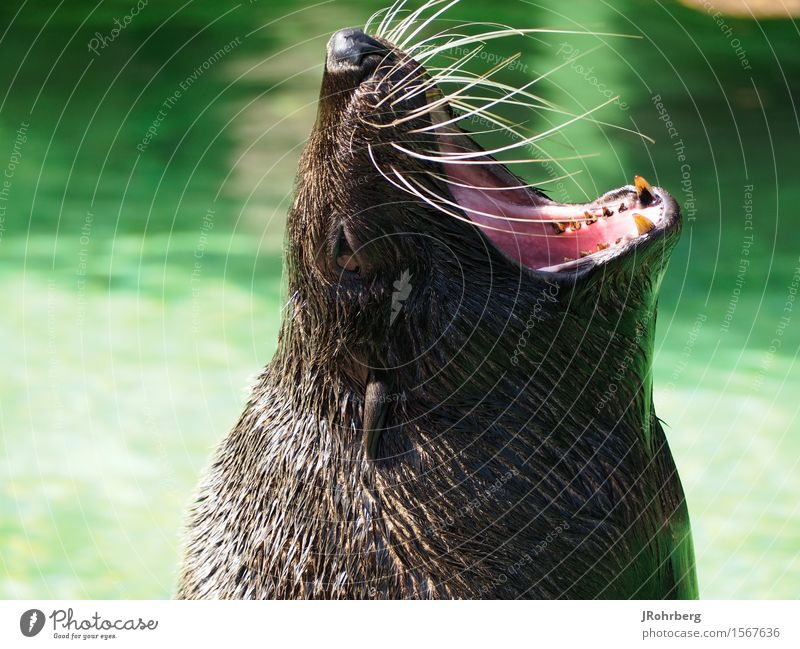 Screaming/Calling Seal Animal Animal face Pelt Zoo Aquarium 1 Discover Feeding Dream Aggression Exceptional Threat Glittering Large Funny Maritime Cute Round