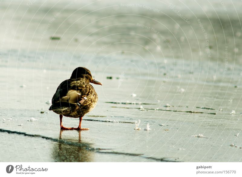 waiting Colour photo Exterior shot Copy Space right Sunlight Central perspective Landscape Animal Water Winter Ice Frost Lake Bird Duck 1 Think Freeze Looking