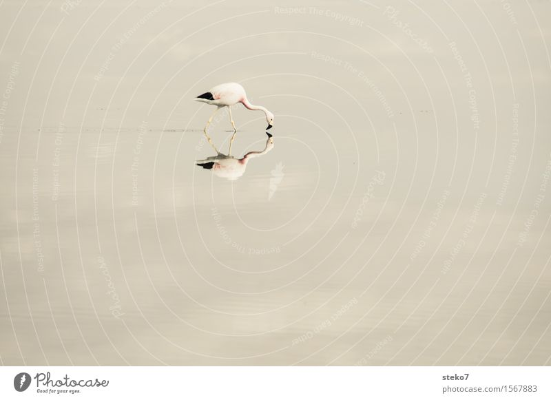 a fried egg for breakfast Lake Salt  lake Salar de Atacama Flamingo 1 Animal Touch To feed Walking Looking Identity Symmetry Mirror image Reflection Calm