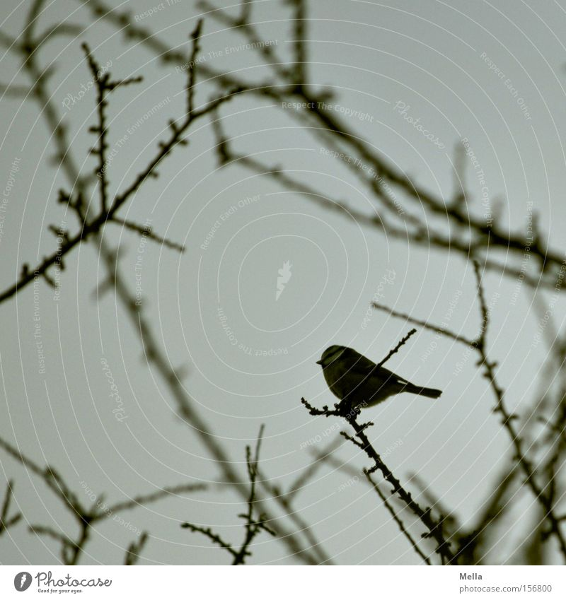 A bird - what else? Bird Tit mouse Small Branch Twig Tree Bushes Sit Crouch Cute Gray Dreary Gloomy