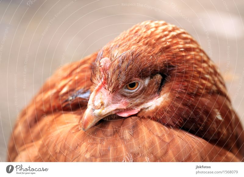 chicken-chill Animal Pet Farm animal Animal face Wing Barn fowl 1 Beautiful Uniqueness Brown Beak Feather Exterior shot Close-up Detail Deserted Copy Space top