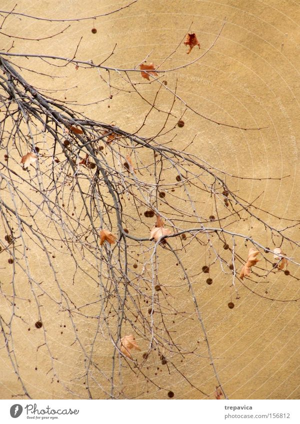 wall Wall (building) Yellow Autumn Winter Plant Twig Wall (barrier) Background picture Delicate Branch Decoration Brown Dried Leafless Sphere Branched